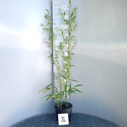 Phyllostachys bissettii 3 litre plant at Big Plant Nursery