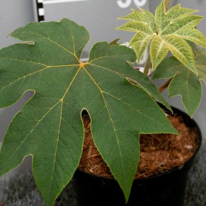 Tetrapanax papyrifer 'Rex' 3 litre plant closeup of new leaf