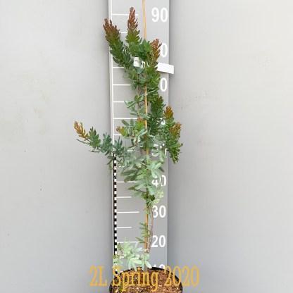 Acacia baileyana purpurea 'Songlines' 2 litre plant