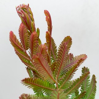 Acacia baileyana purpurea 'Songlines' new growth