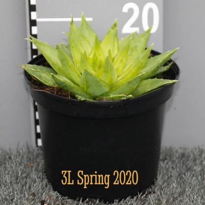 Aloe polypylla 3L plant
