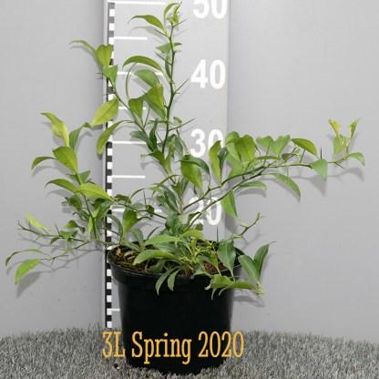 Citrus junos 'John Lemon' 3 litre plant