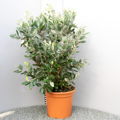 Feijoa sellowiana 10 litre plant