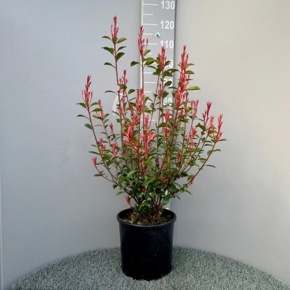 Photinia 'Carre Rouge' 15 litre