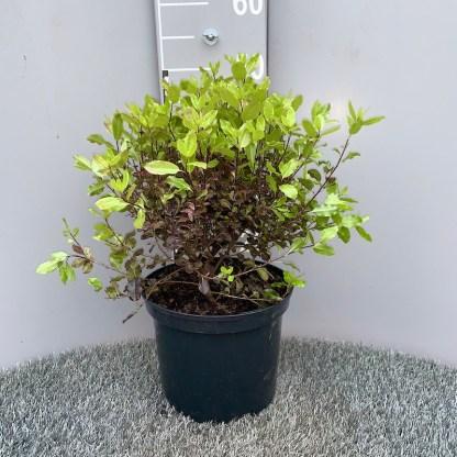 Pittosporum 'Tom Thumb' 5 litre plant