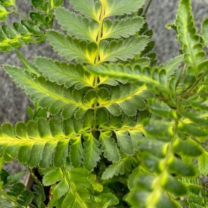 Arachnoides aristata 'Variegata' close up of leaves at Big Plant Nursery