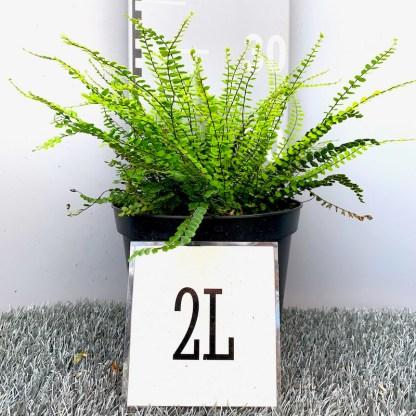 Aspleniun trichomanes 2 litre plant at Big Plant Nursery