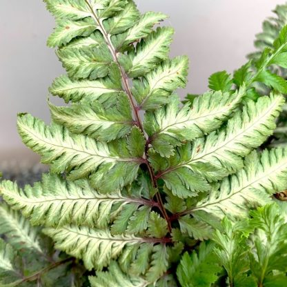 Athyrium nipponicum 'Metallicum' leaf close up