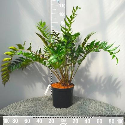 Cyrtomium falcatum 7.5 litre plants at Big Plant Nursery