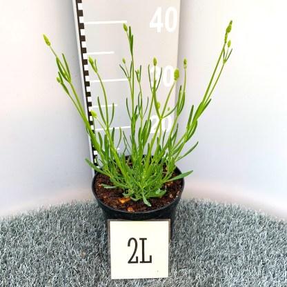 Lavandula 'Phenomenal' 2 litre plant