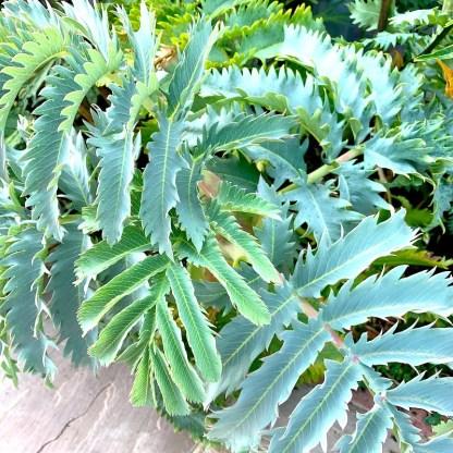 Melianthus major leaves at Big Plant Nursery