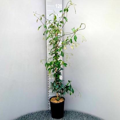 Trachelospermum asiaticum 'Pink Showers' 3 litre plant
