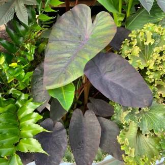 Colocasia 'Madeira' mature plant in summer