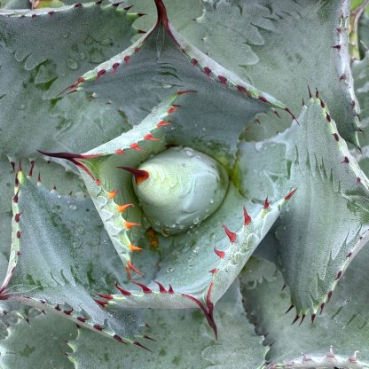 Agave isthmensis close up of crown and new growth at Big Plant Nursery