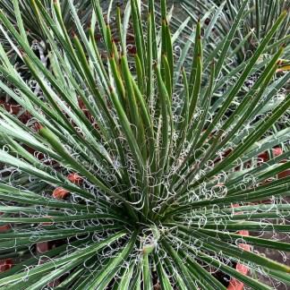 Agave geminiflora mature plant at Big Plant Nursery