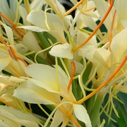 Hedychium villosum close up of flowers