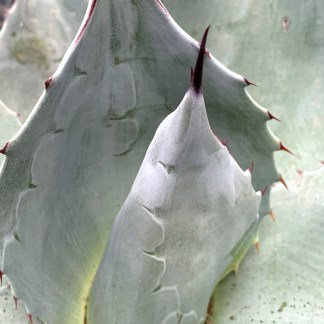 Agave ovatifolia 'Iced Heart' close up of new growth at Big Plant Nursery