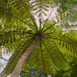 Cyathea medullaris photo of underside of mature plant