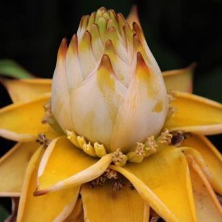 Musella lasiocarpa flower on mature plant at Big Plant Nursery