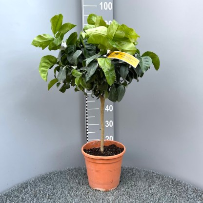 Citrus lemon 6 litre plant at Big Plant Nursery