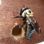 Big Red can get rid of those pesky carpenter bees