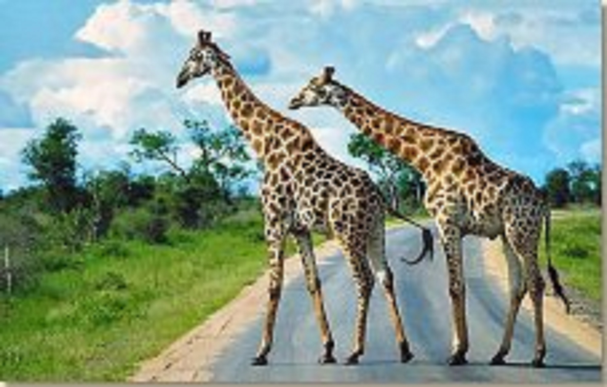 South African Vacations and Giraffes in the Kruger National Park