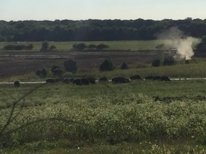 Bison Herd, Shelby Farms