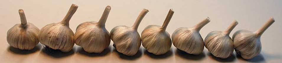 Hardneck garlic lined up in a row