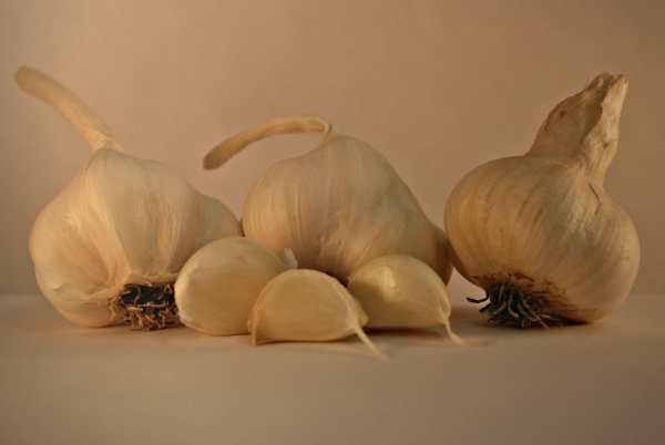 Inchelium seed garlic bulbs
