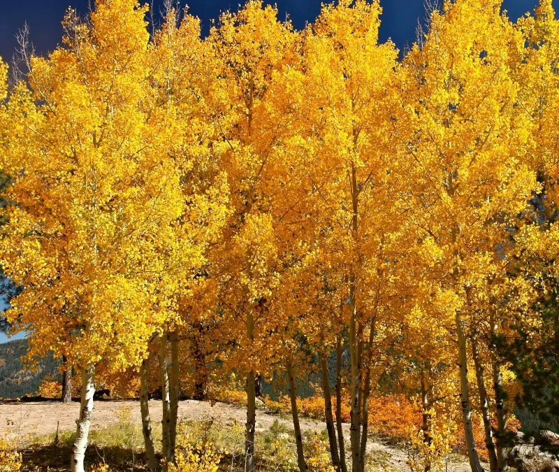 The Best Process for Aspen Tree Care