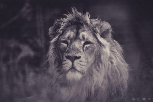 leeuw, christelijke quotes met leeuw
