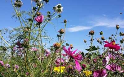Wilde bijen en honingbijen zitten elkaar niet in de weg
