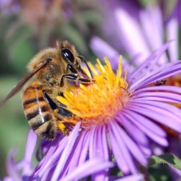Bijen en de Wind