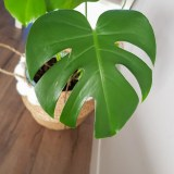 Monstera verzorgen supertip