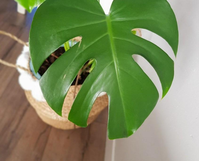 Monstera verzorgen supertip, luchtzuiverende plant gatenplant.