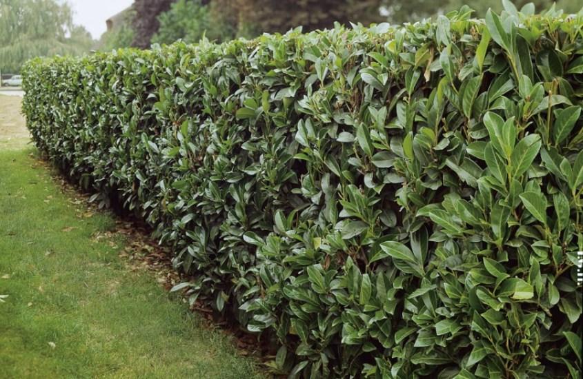 Laurierhaag – alles over haagplanten – tuinwijzer