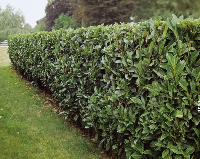 Laurierkers, haagplanten, laurierhaag