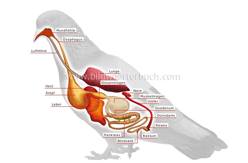Bird Heart Diagram