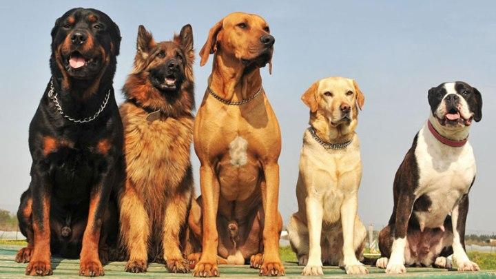En Zeki 10 Köpek Irkı