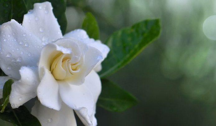 Gardenya Çiçeğinin Anlamı ve Bakımı
