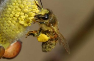 3764 polen 3 300x197 - What Is Bee Pollen?