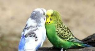 images 15 300x164 - Why budgerigar Vomit ?