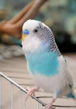 images 2 5 - Why budgerigar Vomit ?