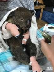 yaralı koala