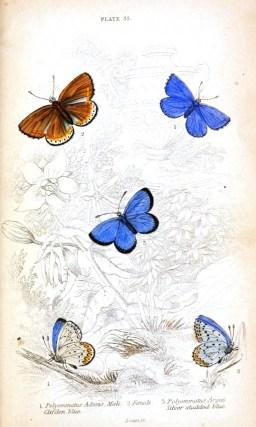 Çokgözlü diye bilinenüzerinde noktalar olan kelebek türleri