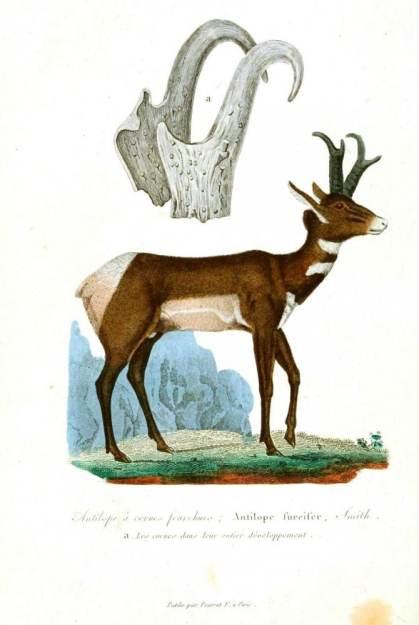 Antilop ve boynuzunun detaylı çizimi