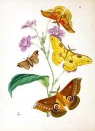 4 farklı güve türü. sarı kahverengi ve turuncu renlerde. Bir tanesi tavus güvesi