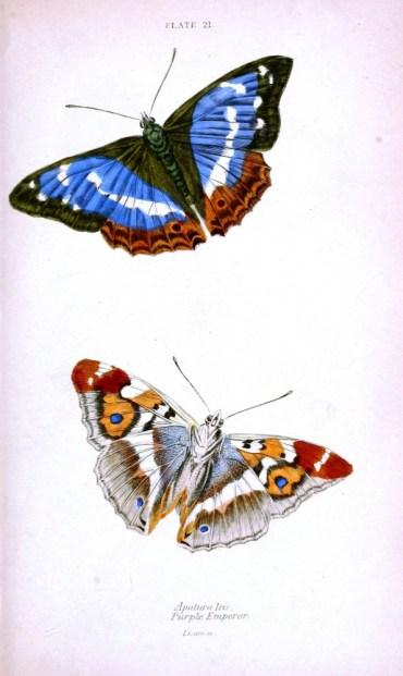 Mavi renk ağırlıklı imparator kelebeği