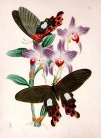 Mor orkideler üzerinde iki tane siyah renkleri olan kelebek türü