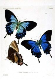 Mavi ve kahverengi kelebekler Papillio kelebek türleri